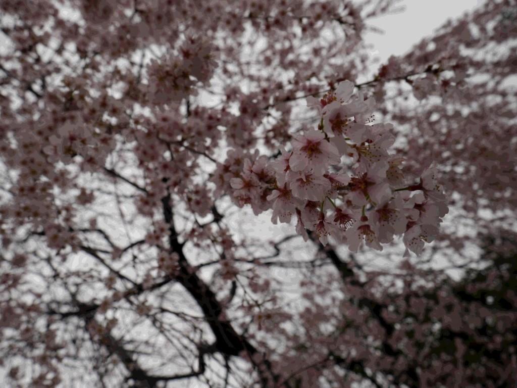 春の桜便り🌸